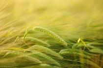 Один из крупнейших экспортеров зерна в Черноземье «Авангард-Агро» продолжает ухудшать финпоказатели