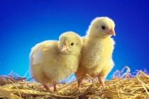 Компания «Светлый путь» в Липецкой области увеличила мощности своей птицефабрики на 20%