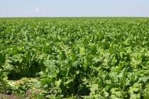 Липецкий Добринский сахзавод переработал 630 тыс. тонн сахарной свеклы