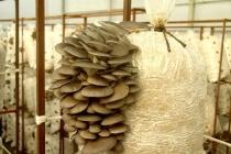 В Липецкой области запустили цех по выращиванию грибов