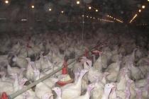 Липецкая компания «Зерос» увеличит производство мяса индейки почти в два раза