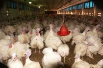 Компания «Зерос» запустила новые площадки по производству мяса индейки