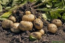 В Липецкой области подразделение КГ «ТРИО» приступило к выращиванию картофеля за 1 млрд рублей