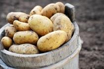 Агрофирма «Трио» может наладить производство картофеля в Елецком районе Липецкой области