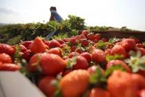 Липецкая компания «Фрагария» заработала на выращивании ягод 19 млн рублей