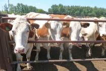 Липецкое КХ «Речное» отказалось от строительства своего молочного комплекса