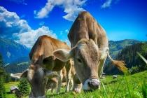 В Липецкой области отмечается сокращение поголовья скота