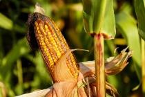 В Липецкой области построят завод глубокой переработки кукурузы «КорнБиоТех» за 1 млрд рублей