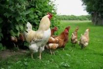 «Липецкптица» вложила в реконструкцию своих птичников 50 млн рублей