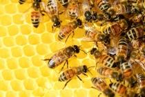 Французские учредители липецкой свиноводческой компании «Отрада» займутся производством мёда