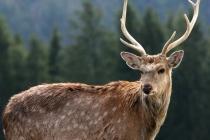 Компания «Дир фарм» начала производство пантового сырья из оленьих рогов в Липецкой области
