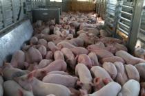 В Липецкой области растет производство свинины