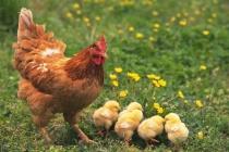 Липецкие птицеводы хотят на областную субсидию построить цех по разделке птицы и расширить инкубаторий