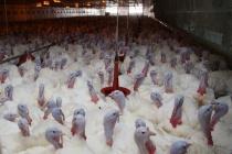 Липецкая компания «Кривец-птица» планирует расширить географию поставок мяса индейки