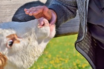 В Липецкой области поголовье крупного рогатого скота продолжает падать