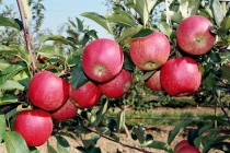 Агрофирма имени 15 лет Октября в Лебедянском районе закладывает интенсивные сады с капельным орошением