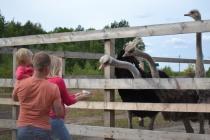 Липецкие фермеры наладили поставки страусов на Урал