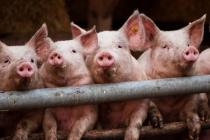 «Черкизово» приступает к строительству двух свиноводческих комплексов в Липецкой области за 1 млрд рублей