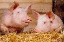 В Тамбовской области появится свинокомплекс за 2,8 млрд рублей