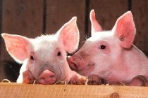 Группа «Черкизово» запустила очередную площадку своего свиноводческого кластера в Липецкой области за 5 млрд рублей