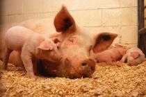 Группа «Черкизово» увеличила выпуск свинины в Липецкой области на 22 процента