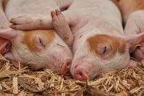 Жители Липецкой области бунтуют против строительства свинокомплексов Группы «Черкизово»