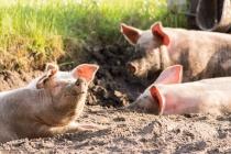 В Липецкой области сокращается поголовье свиней