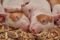 Липецкие коммунисты будут добиваться сноса незаконно построенных свинарников в Сухой Лубне