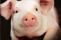 В Тамбовской области планируют построить еще один крупный свинокомплекс