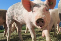 Росприроднадзор выявил новые нарушения на липецком свиноводческом комплексе «Отрада Фармз»