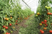 В Липецкой области «Елецкие овощи» начинают строительство первой очереди тепличного комплекса за 1,5 млрд рублей