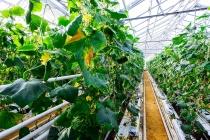 Компания «Глобус Групп» приступила к модернизации тепличного комплекса в Липецке