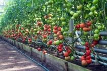Липецкая «Овощи Черноземья» вырастит «дебютную» партию томатов на своем новом комплексе к Новому году