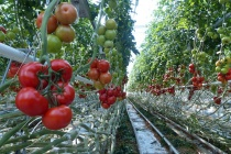 В Тамбовской области может быть построен тепличный комплекс за 20 млрд рублей
