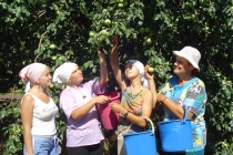 Лебедянские яблоки заменят польский импорт
