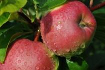 Липецкая «Агрофирма им. 15 лет Октября» нацелено на увеличение производства яблок