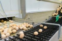 Вошедшая в состав «ЭКОПТИЦЫ» компания «Липецкптица» рассматривает возможность увеличить производство яиц на треть