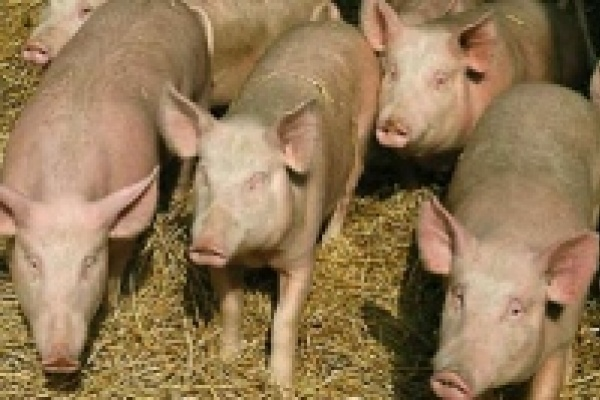 Заслон африканской чуме свиней
