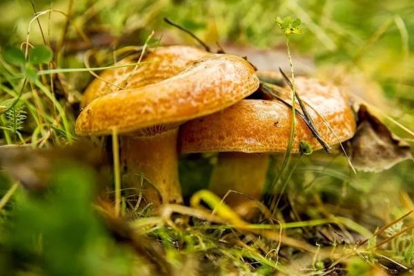 Экс-губернатор Липецкой области не думает о политике и сосредоточился на собирании грибов