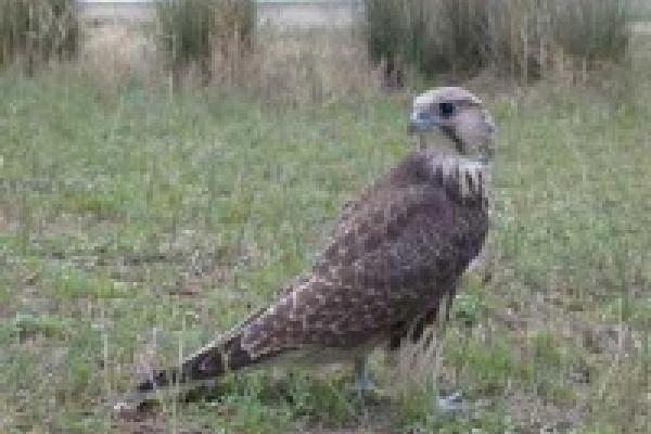 Заповедник «Галичья гора» восстановит поголовье хищных птиц уже к лету