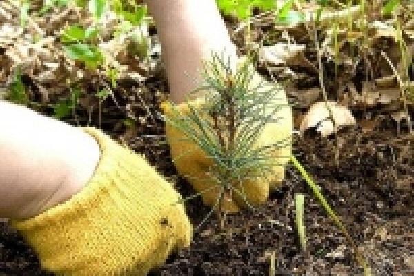 Лесоводы области завершают весенние посадки