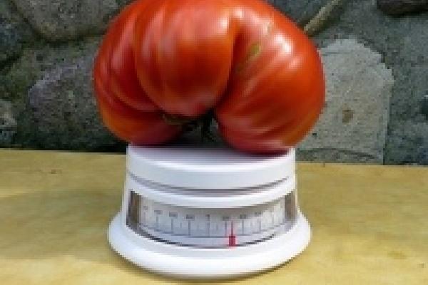 В Липецкой области вырастили гигантский помидор