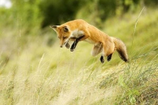 Охотники получат вознаграждение за отстрел лис
