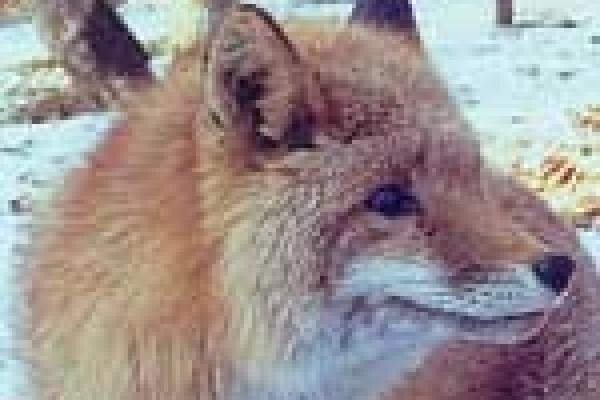 Власти Липецкой области вновь платят за убитых лис