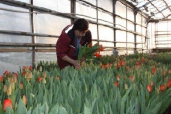 25 тысяч тюльпанов к 8 Марта вырастили в «Зеленхозе»