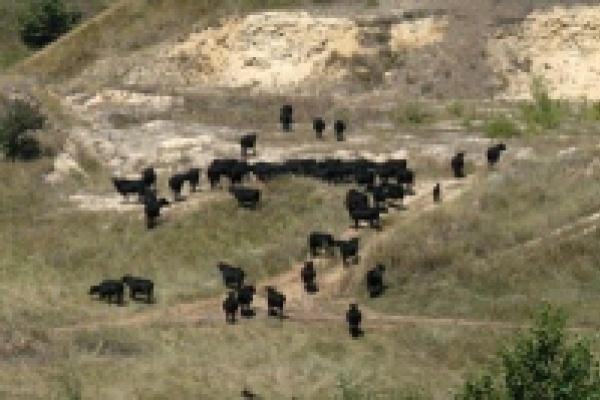 В Липецкой области намерены резко увеличить поголовье коров