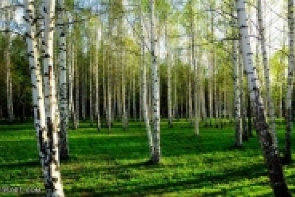 Леса Липецкой области рискуют остаться без берез