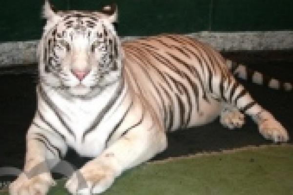 В зоопарк Липецка привезли белую тигрицу Бритни