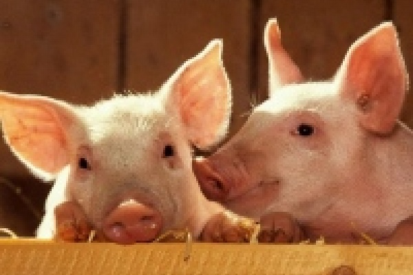 Обанкротившийся липецкий свинокомплекс хотят продать за 507 миллионов рублей