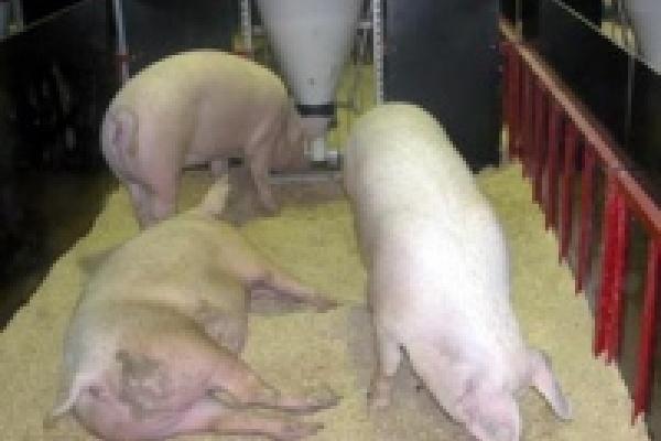 В Липецкой области открыли крупнейший в Европе свинокомплекс